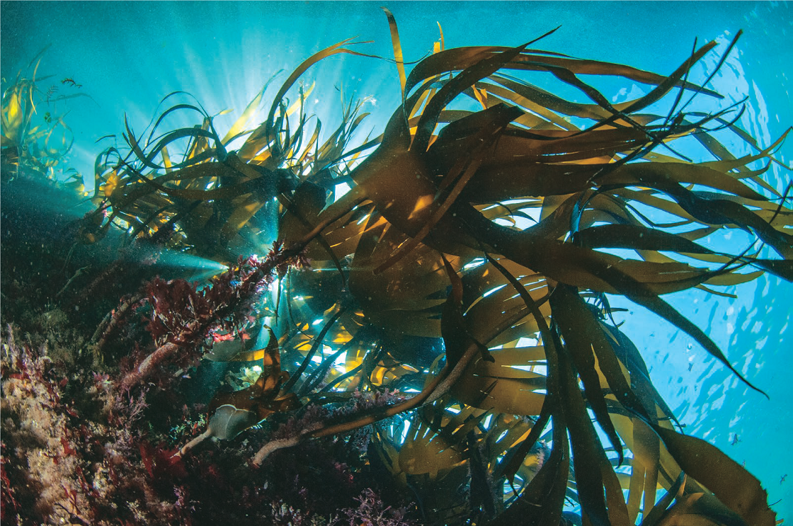 algues