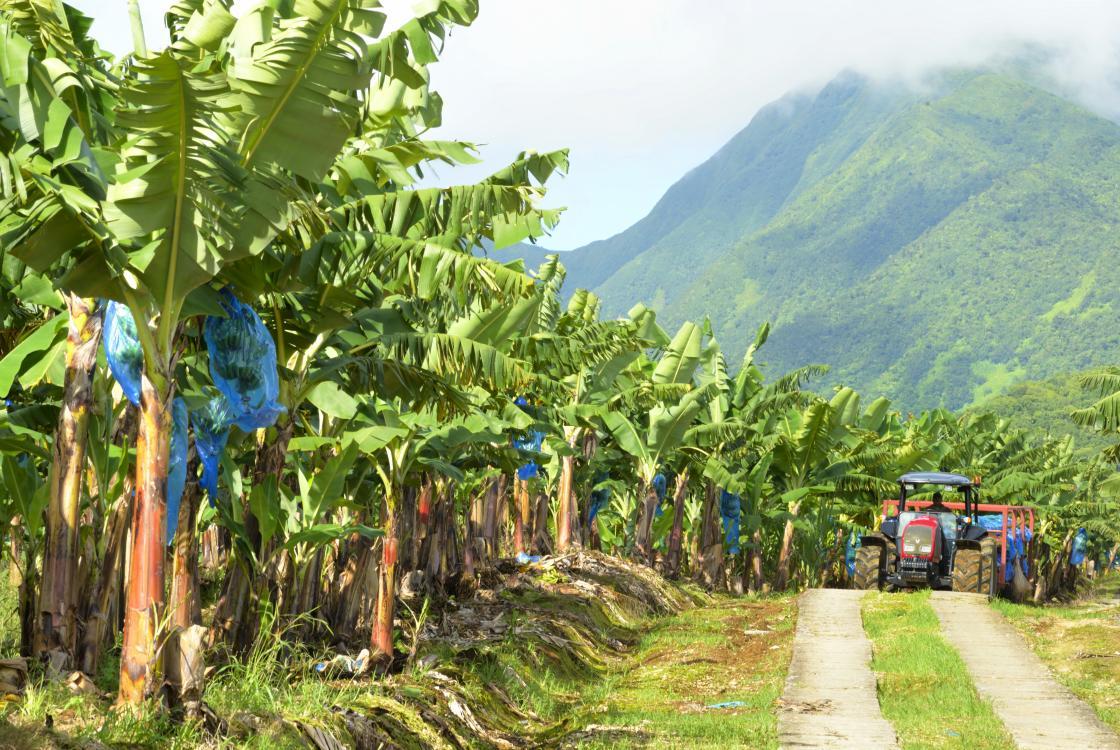 Groupement de producteurs de bananes - Les hauts de Cambrefort en Guadeloupe