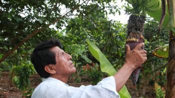 producteur de bananes, Pérou, agriculture