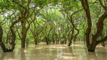 Mangroves are currently the most effective weapon for combating erosion of coastal lands