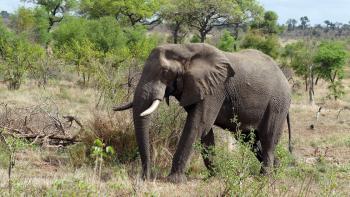 Mozambique, Elephant, Walter