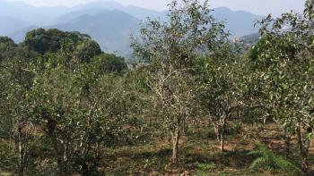 arbres à thé, Laos, Xaysathan