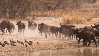 buffles, Afrique, biodiversité, parc naturel