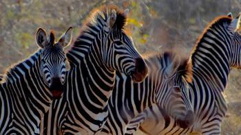 zebras, Africa, biodiversity
