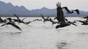 pelicans mer océan biodiversité AFD