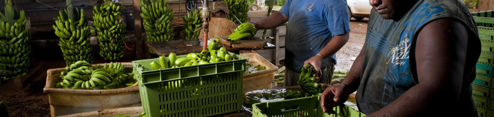 Tropical fruits, bananas, men, Le Chélard, New-Caledonia