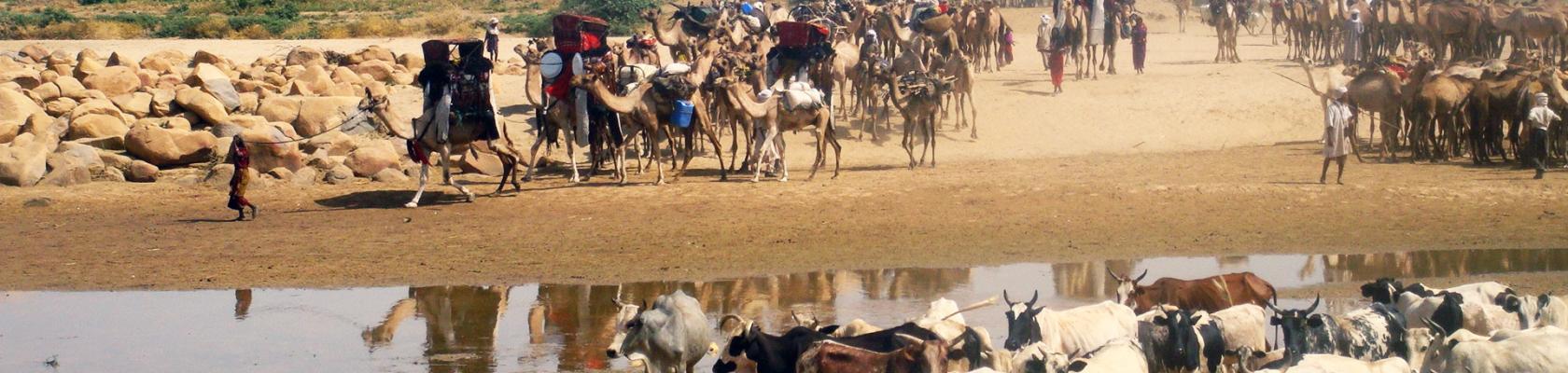 Tchad transhumance bétail