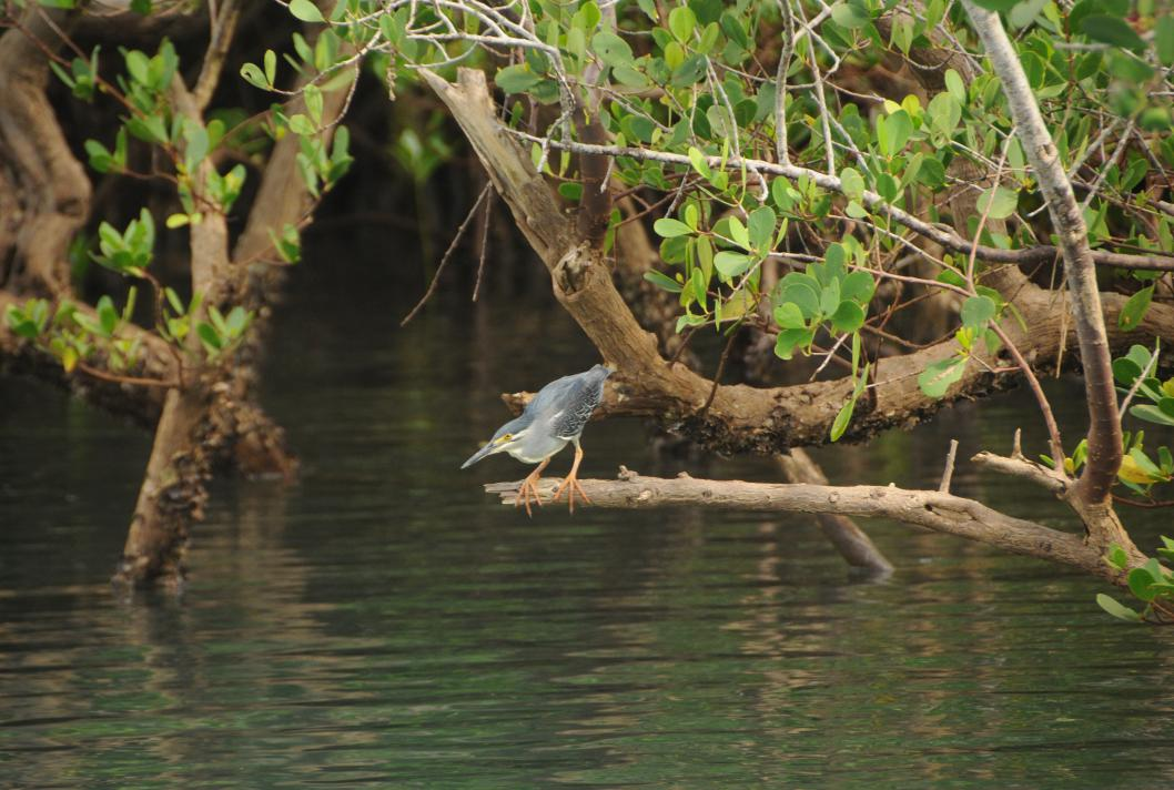 Bird in the mangrove swamp, Mayotte