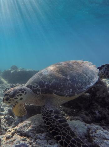 Indonésie, Indeso, tortue