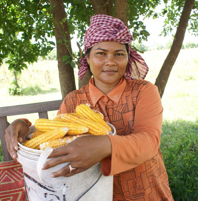 Corn harvest in Cambodia made possible by microfinance