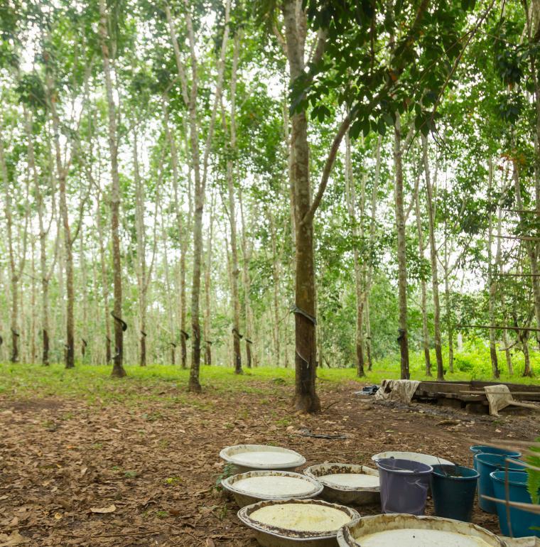 Ghana plantation d'hévéas à Takarodi