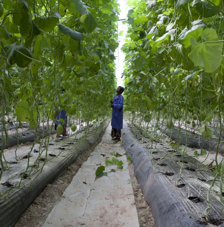 Agriculture melon à Katibougou au Mali