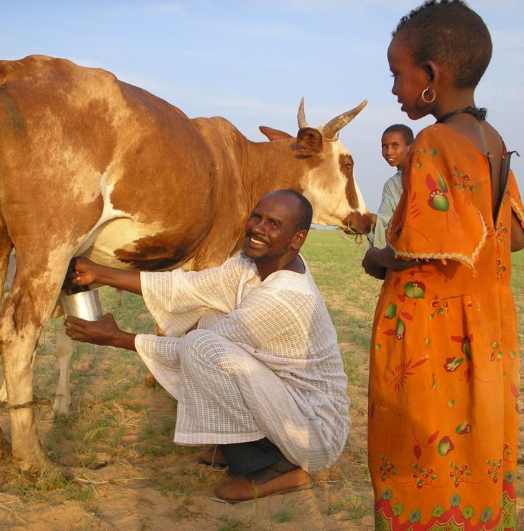 Tchad homme vache agriculture traite