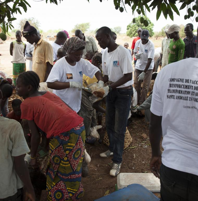 cattle vaccination, NGO, Bambari, CAR, Centrafican Republic