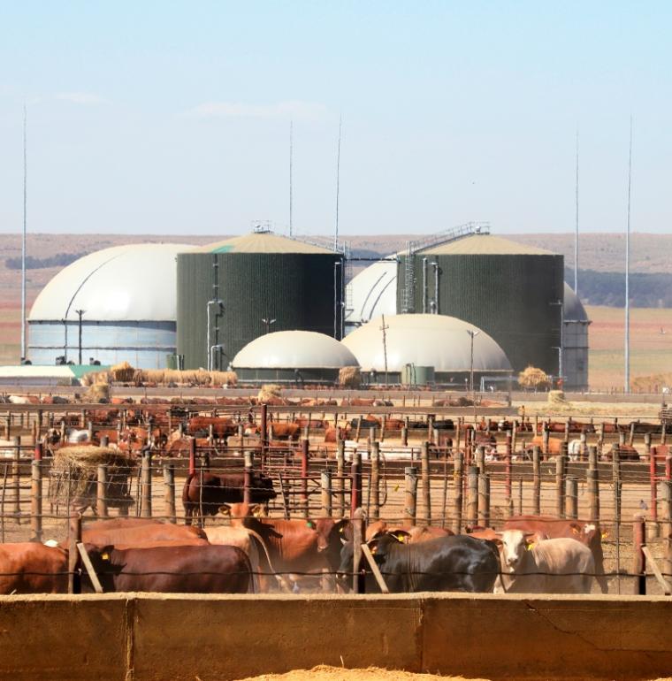 bio2watt, énergie, biogaz, vaches, Afrique du Sud