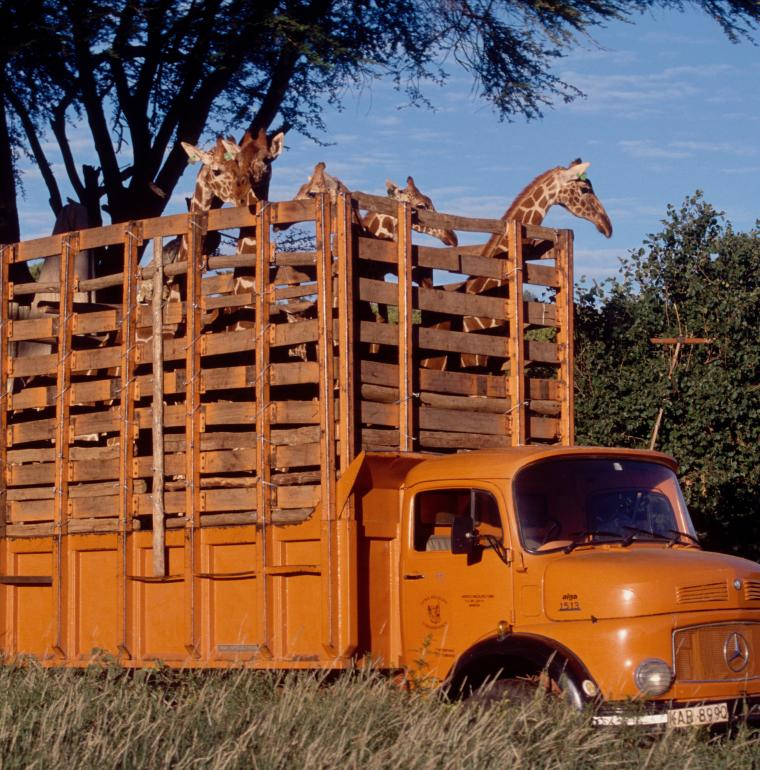 Réintroduction de giraffes dans le parc de Meru / Nicolas Garnier AFD