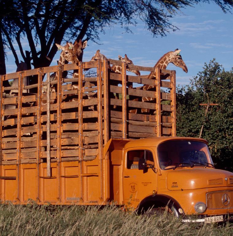 Reintroducing giraffes in Meru Park / Nicolas Garnier AFD