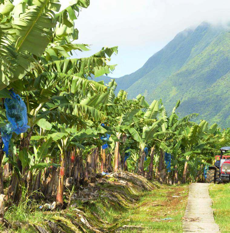 Bananas, production, Guadeloupe, Gentilhomme