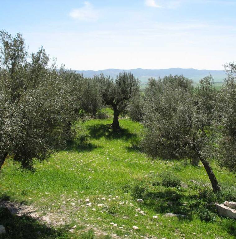 Tunisie champ oliviers