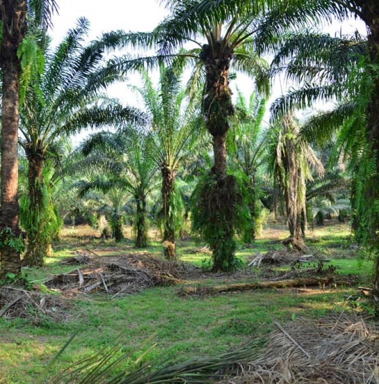 forest, palm tree in cameroun, biodiversty
