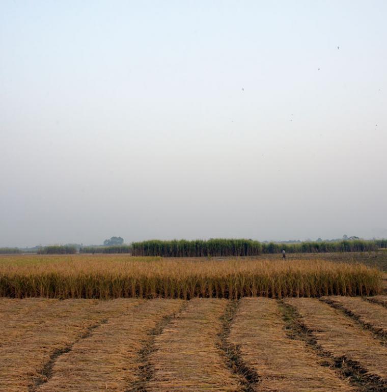 riz moissonné, agriculture, Bangladesh