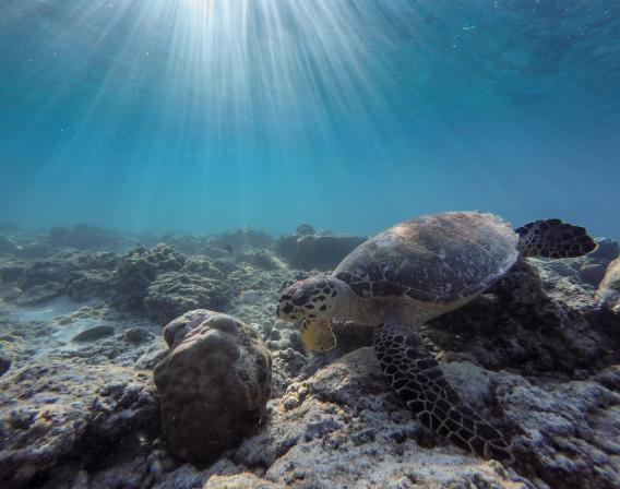 Indonésie, mer, Indeso, tortue