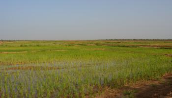 agriculture irriguée, champ, riz, Sénégal