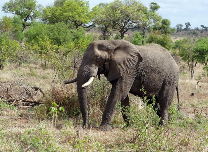 Mozambique, Elephant, Walter