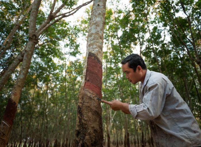 Hevea plantation in Cambodia