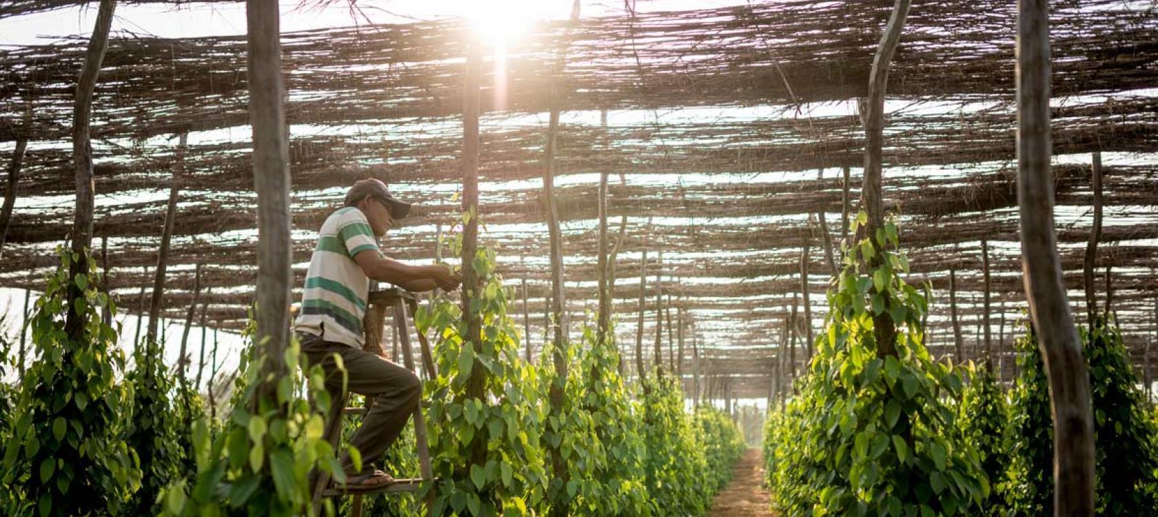 production poivre Kampot, Asie, agriculture